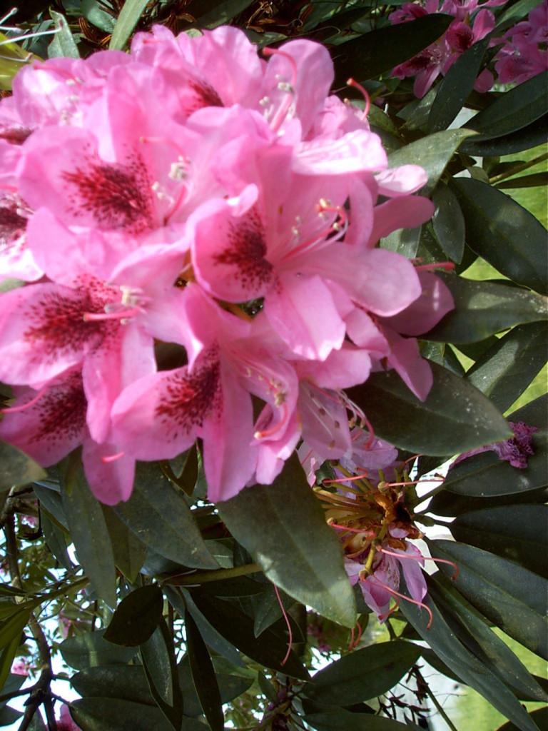 Flor de Rhododendron