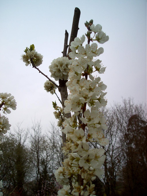 Flor de árbol frutal