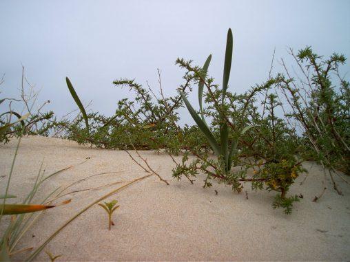 Plantas en la duna